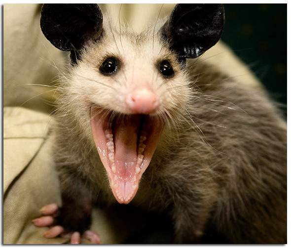 Smiling Possum Do.